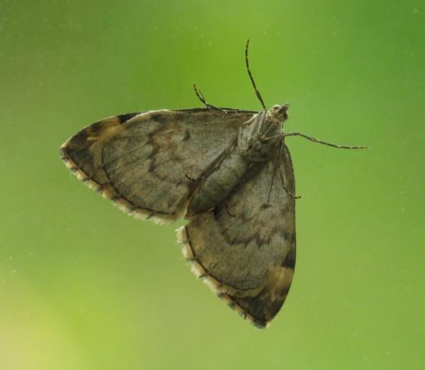 Double Glazing Moth by KarenFB