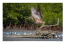 Pink Backed Pelican by running_man