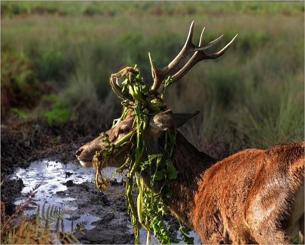 Red Deer in Bushey Park, near Hampton Court by Karazor