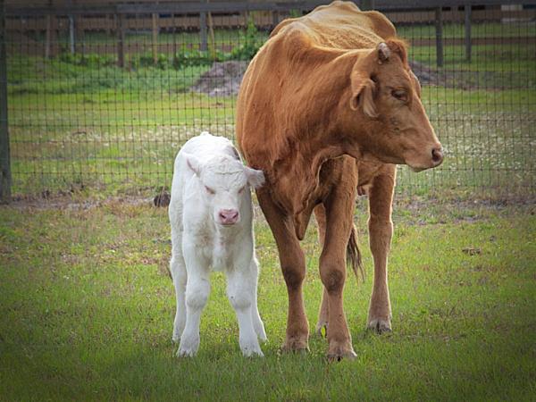 Albino calf by jbsaladino