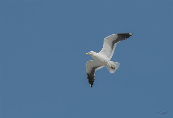 Blackbacked gull (2466) by paulknight