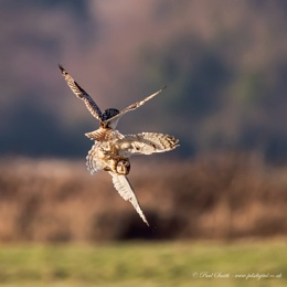 Sparring Short-Eared Owls