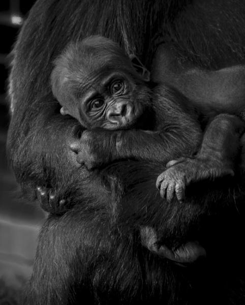 Baby Lowland Gorilla by Franko59