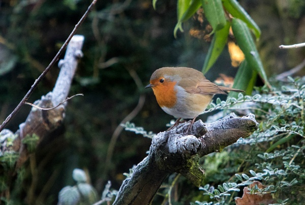 Robin in the frost by Johnsodav