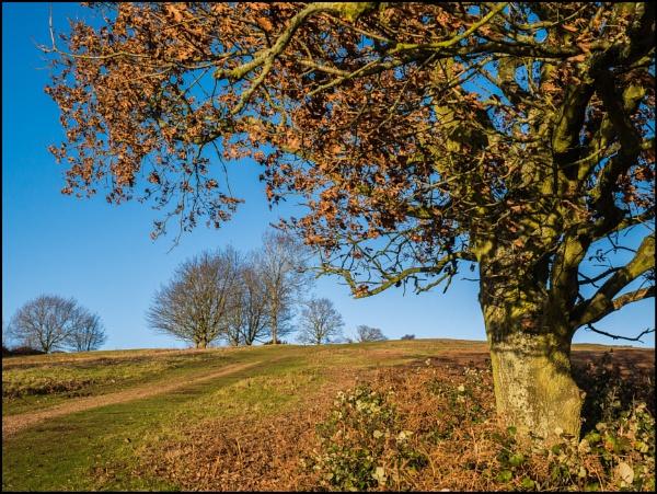 Beech Tree on the Malverns by bwlchmawr