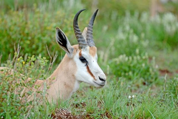 Springbok by Coen