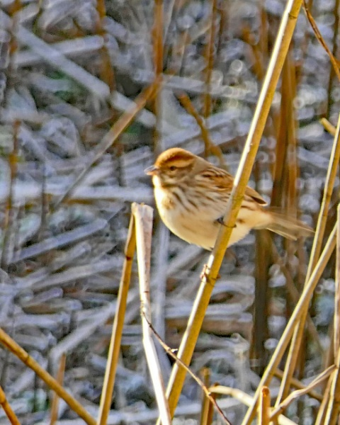 Reed Bunting by Ted447