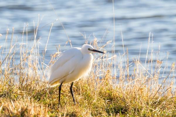 Little Egret by Bill_C