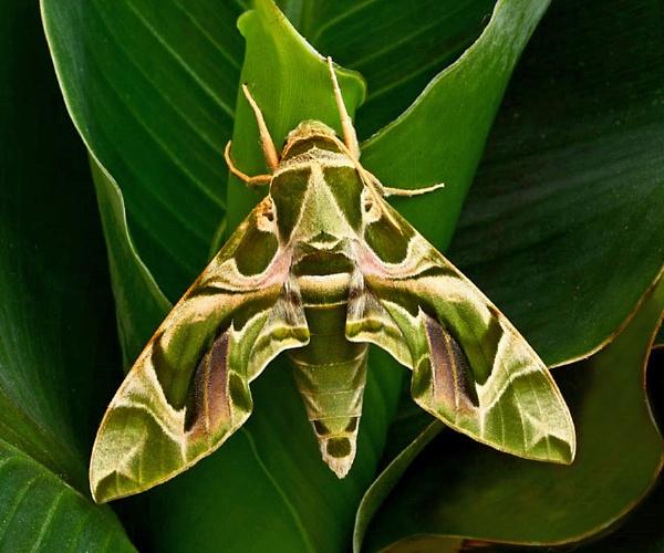 Oleander Hawk Moth by bobpaige1