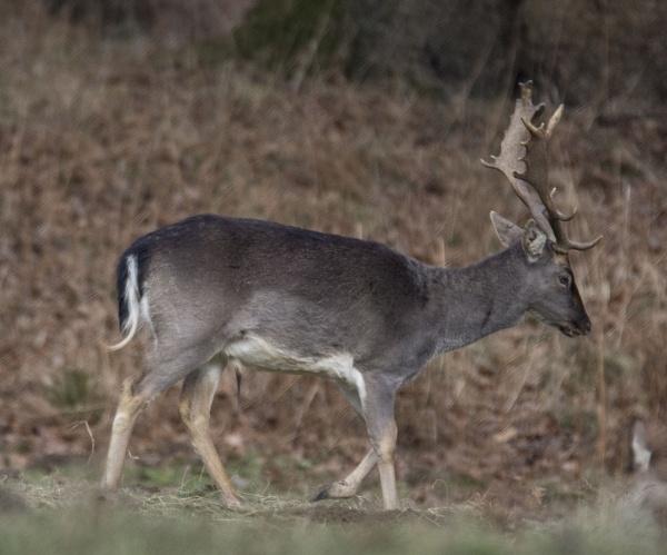 Fallow deer stag by cegidfa