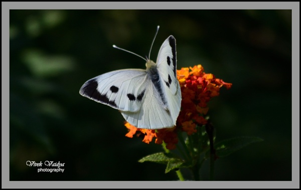 Butterfly by vivekvaidya