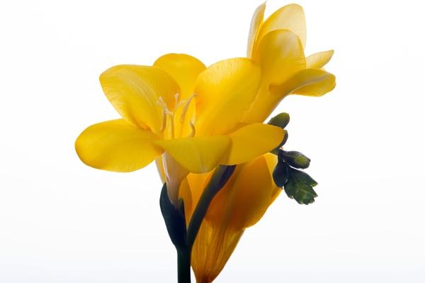 Yellow freesia by kip55