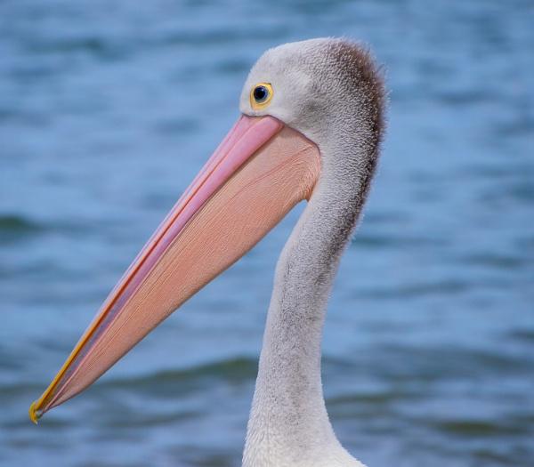 Pelican by Wireworkzzz