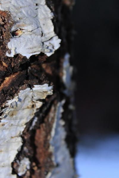 Old Birch by 1KorteX1