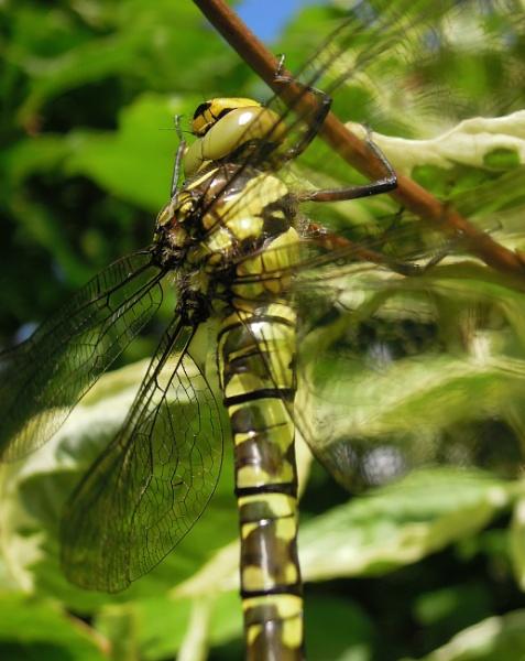 Mid-June Dragonfly by SocksAndStuff