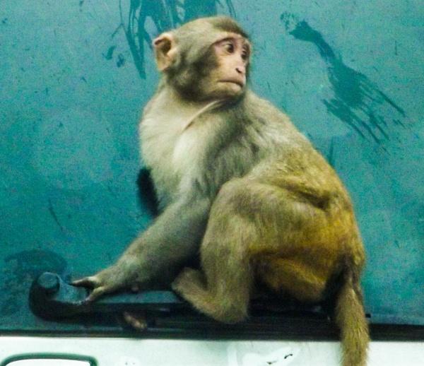 Monkey at Longleat Safari Park