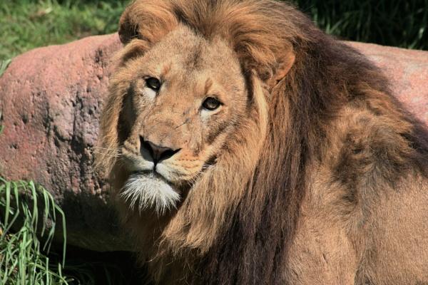 Lion 01 by Kerro