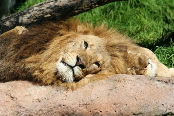 Lion 02 by Kerro