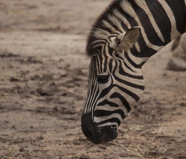 Zebra by Kerro