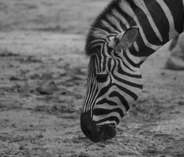 Zebra B+W by Kerro