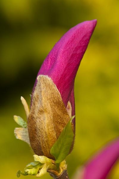 Blütenknospe von Magnolie by mongol
