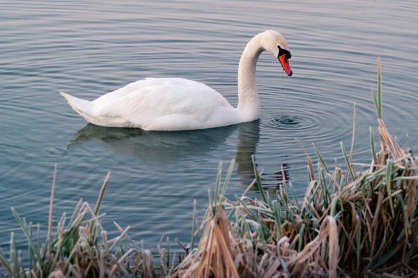 Mute Swan (Middleton Lakes) by tom_earwaker
