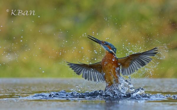 Kingfisher Rising by KBan