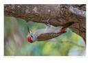 Grey Woodpecker by running_man