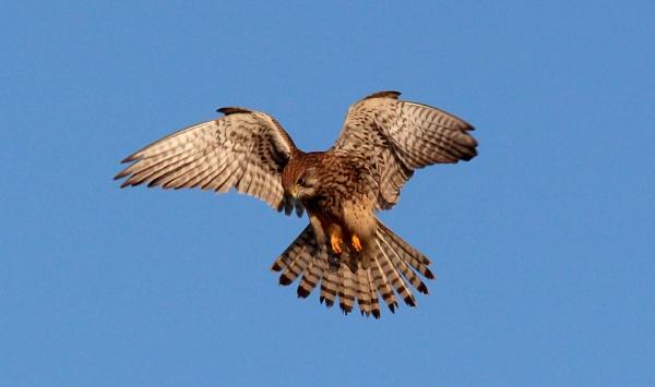 Hovering female kestrel by oldgreyheron