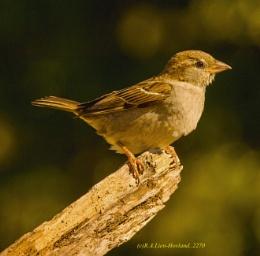 Sparrow. 2270