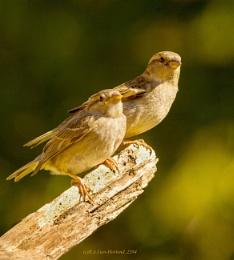 Sparrow. 2384