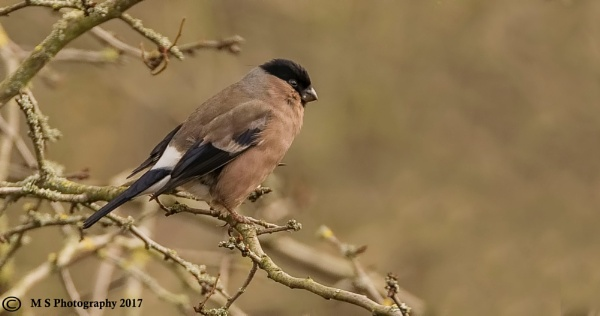 Bullfinch Female by Mike_Smith
