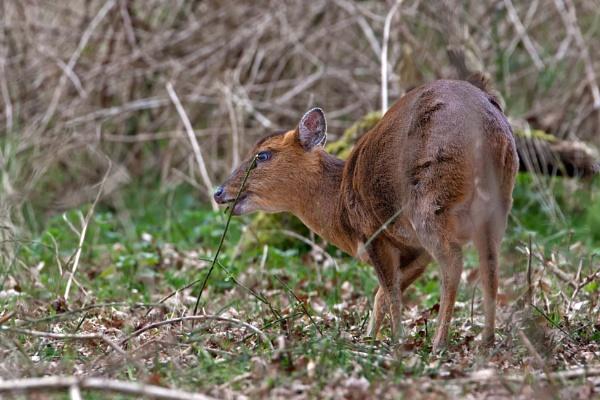 Muntjac Deer (Muntiacus reevesi) by Ray_Seagrove