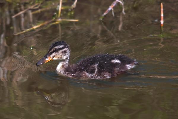 Mallard duckling by tamasalucy