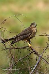 Juv. Sparrowhawk