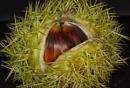 Horse Chestnut by calmat