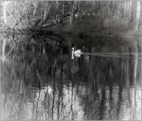 THE SWAN by derekp
