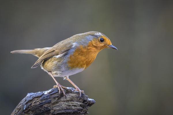 Perching Robin by BydoR9