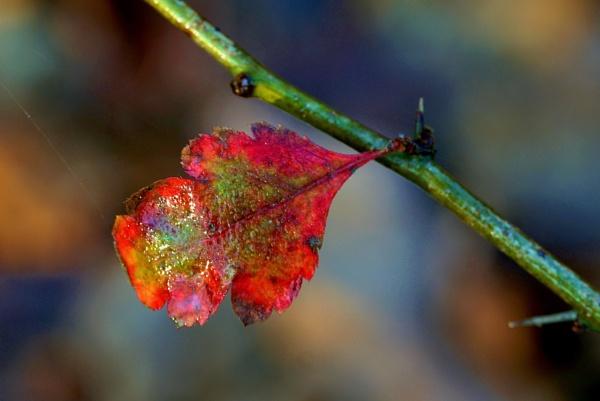 Late Autumn leaf by georgiepoolie