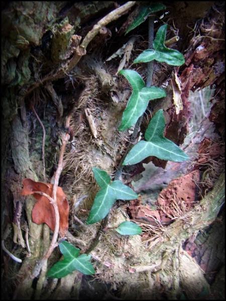 Ivy by bwlchmawr