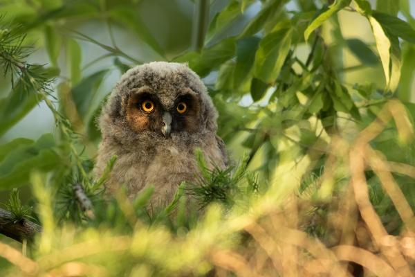 Long-eared Owl by olesniczanin