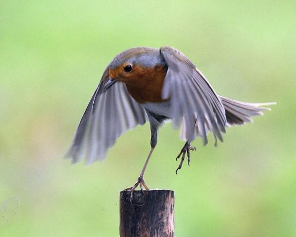 Rockin\' Robin!! by Holmewood