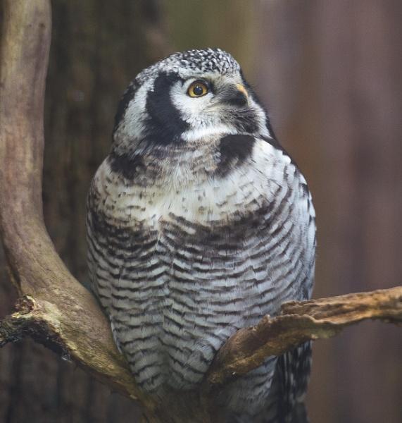 Northern Hawk Owl by 10delboy