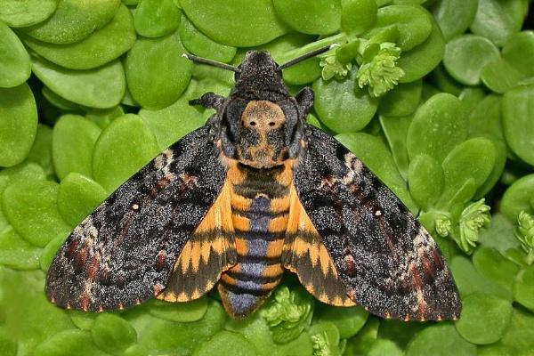 Death Head Hawk Moth. by bobpaige1