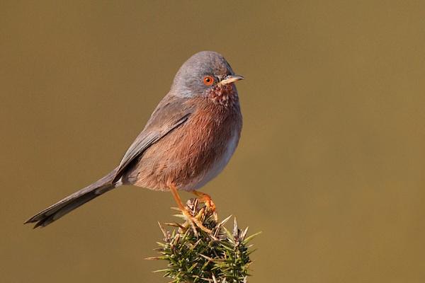 Dartford Warbler-Sylvia undata. by bobpaige1