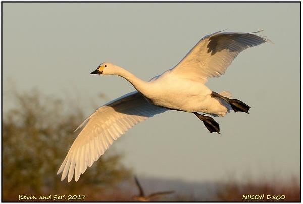 Bewicks Swan