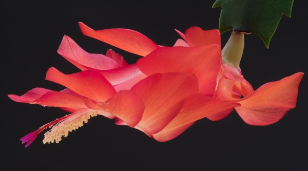 Christmas Cactus 2 by PRC