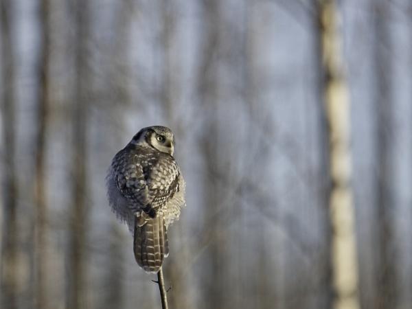 Hawkowl, surnia ulula by EllerySneed