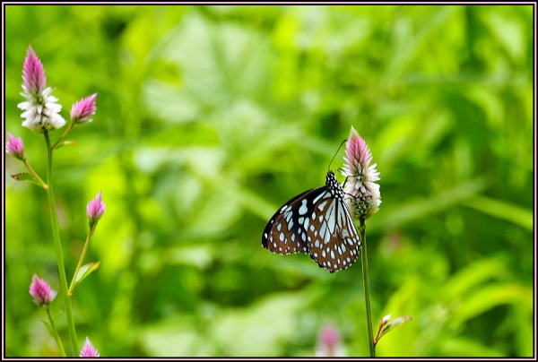*** Silver Cockscomb flowers & White tiger butterfly *** by Spkr51