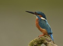 Kingfisher by KBan